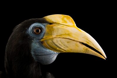 Photo: A female wrinkled hornbill (Aceros corrugatus rugosus) at Penang Bird Park.