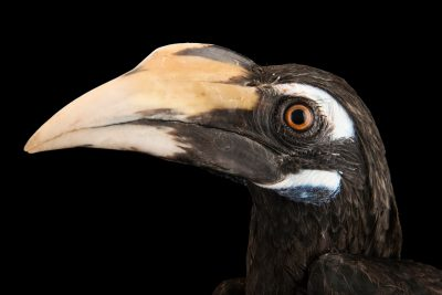 Photo: A subadult female bushy-crested hornbill (Anorrhinus galeritus) at Penang Bird Park.