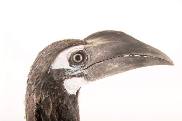 Photo: A subadult male bushy-crested hornbill (Anorrhinus galeritus) at Penang Bird Park.