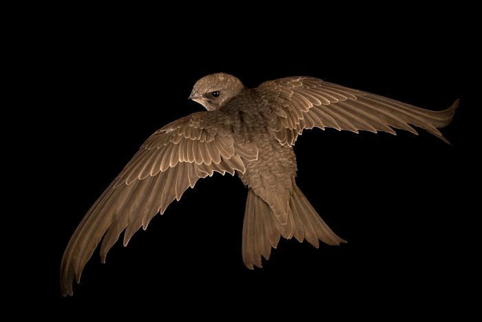 Photo: A pallid swift (Apus pallidus) at the Wildlife Rescue Center (LIPU) of Rome.
