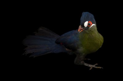 A Hartlaub's turaco (Tauraco hartlaubi) at the Houston Zoo.