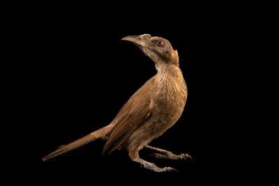 Photo: A helmeted friarbird (Philemon buceroides neglectus) at Ragunan Zoo in Jakarta, Indonesia.