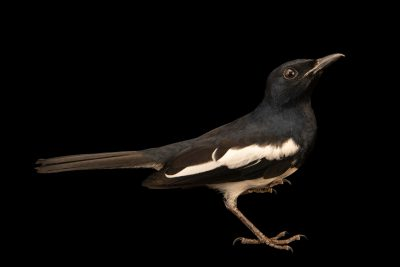 Photo: A magpie robin (Copsychus saularis musicus) at Ragunan Zoo in Jakarta, Indonesia.