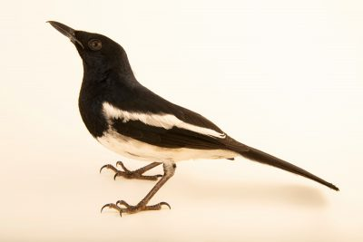 Photo: A magpie robin (Copsychus saularis musicus) at Ragunan Zoo in Jakarta, Indonesia.