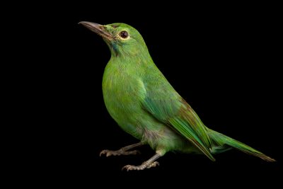 Photo: A green leaf bird (Chloropsis sonnerati sonnerati) at Bali Safari.