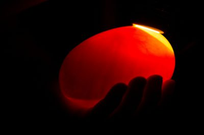 Photo: Rowi kiwi egg candling at the West Coast Wildlife Centre in Franz Josef Glacier, New Zealand.