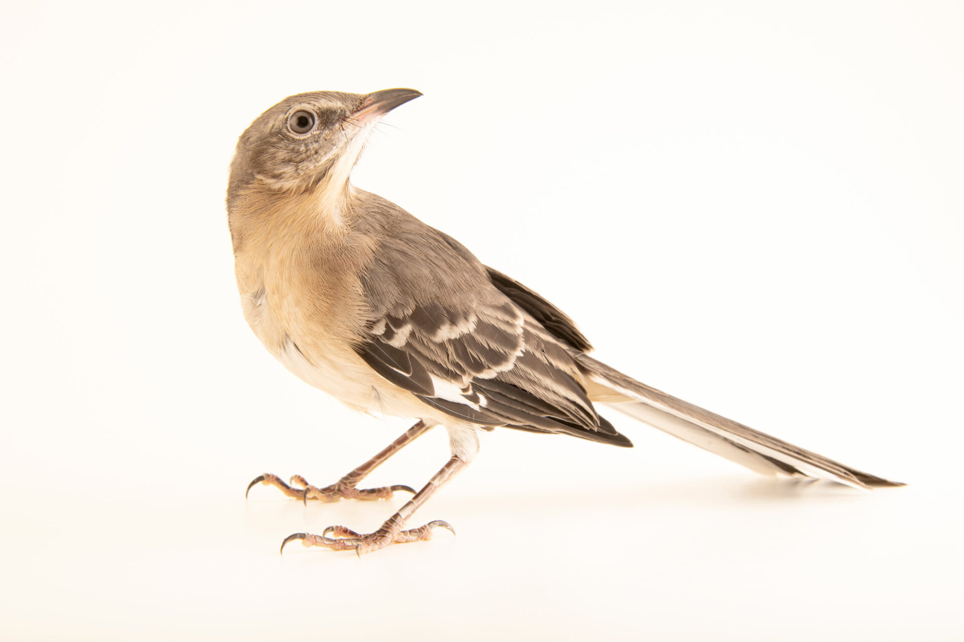 Photo: A northern mockingbird (Mimus polyglottos polyglottos) at the Carolina Wildlife Center, a place that rescues and rehabilitates injured and orphaned wildlife.