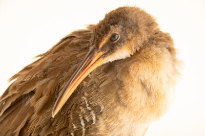 Photo: A king rail (Rallus elegans) at the Carolina Wildlife Center, a place that rescues and rehabilitates injured and orphaned wildlife.