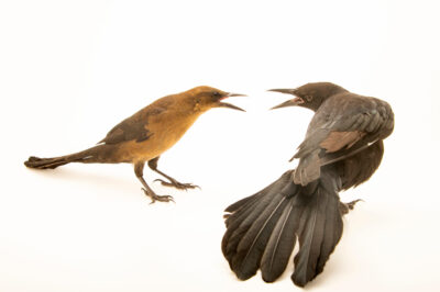 Photo: A pair of great-tailed grackle (Quiscalus mexicanus) at Santa Barbara Wildlife Care Network.