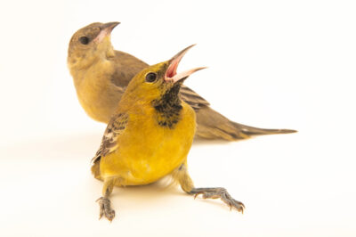 Photo: A male and female juvenile hooded oriole, (Icterus cucullatus) at the Santa Barbara Wildlife Care Network.