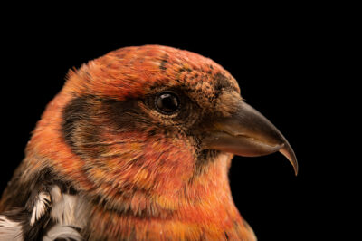 Photo: A male white-winged crossbill (Loxia leucoptera leucoptera) at the Wildlife Rehabilitation Center of Minnesota.