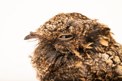 Photo: A greater band-winged nightjar (Systellura longirostris bifasciata) at Unidad de Rehabilitación de Fauna Silvestre.