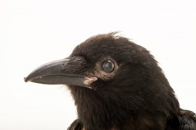 Photo: A fish crow (Corvus ossifragus) named Squirt at St. Francis Wildlife, a rehab center in Quincy, FL.