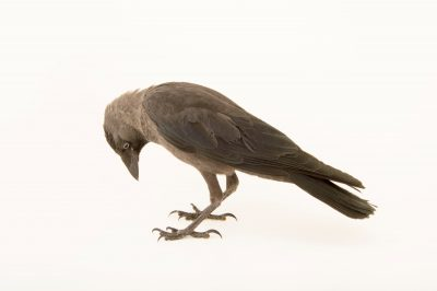 Photo: Western jackdaw (Corvus monedula) from the Budapest Zoo.