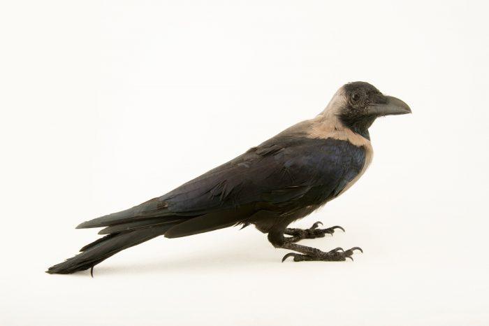 Photo: Common Indian crow or house crow (Corvus splendens) at Kamla Nehru Zoological Garden, Ahmedabad, India.
