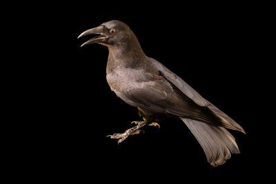 Photo: A Southern crow (Corvus brachyrhynchos paulus) at Carolina Waterfowl Rescue.