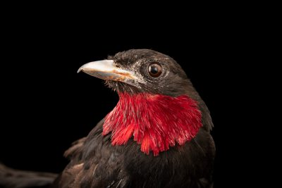 Photo: A male purple-throated fruitcrow (Querula purpurata) at the Dallas World Aquarium.