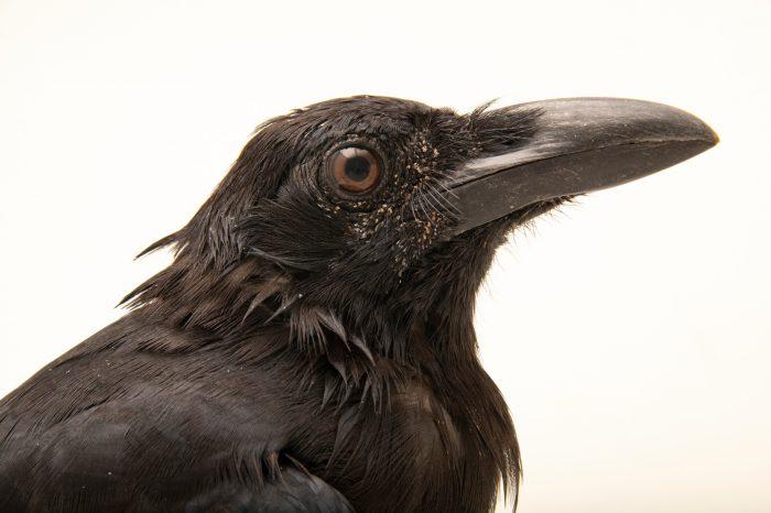 Photo: A jungle crow (Corvus macrorhynchos macrorhynchos) at Taman Mini Indonesia Indah.