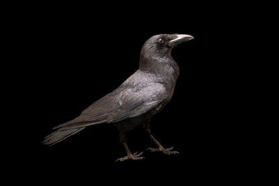 Photo: A carrion crow (Corvus corone corone) at Parque Biologico in Vila Nova de Gaia.
