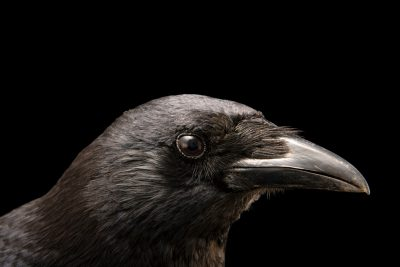 Photo: A carrion crow (Corvus corone corone) at Parque Biologico in Vila Nova de Gaia.