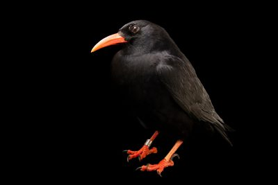 A red-billed chough (Pyrrhocorax pyrrhocorax pyrrhocorax) at Parque Biologico.