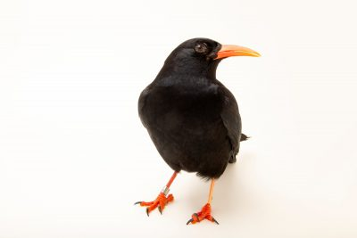 Photo: A red-billed chough (Pyrrhocorax pyrrhocorax) at Parque Biologico.