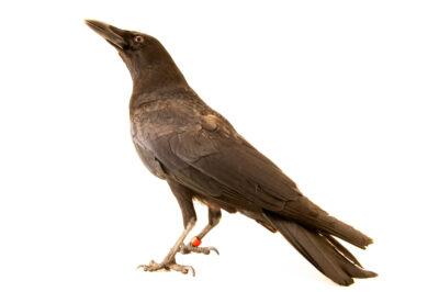 Photo: An American crow (Corvus brachyrhynchos hesperis) at the Big Bear Alpine Zoo. This animal's name is Walter.
