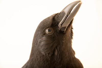 Photo: An American crow (Corvus brachyrhynchos hesperis) at the Big Bear Alpine Zoo.