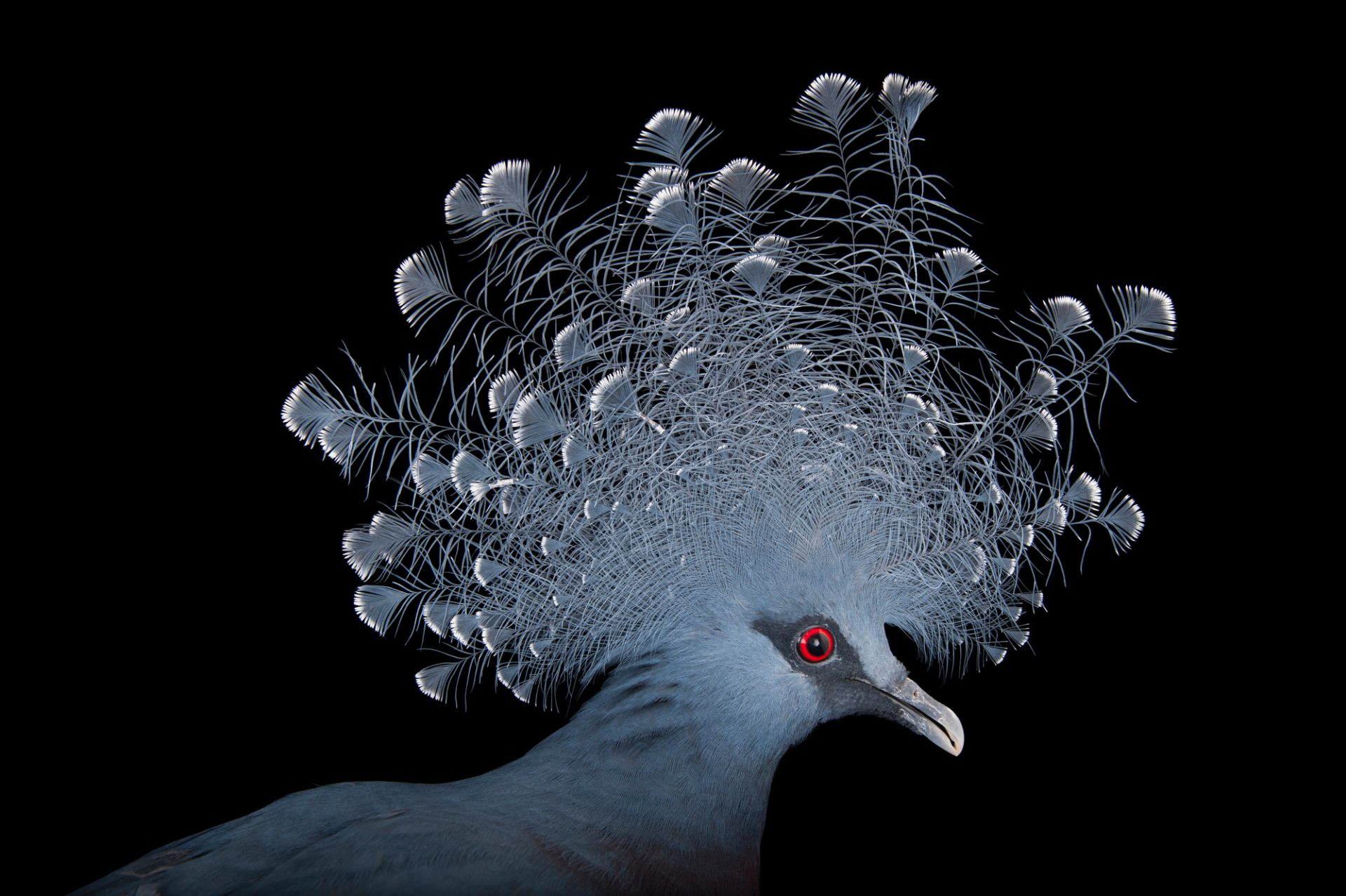 Picture of a vulnerable Victoria Crowned Pigeon (Goura victoria) at the Columbus Zoo.