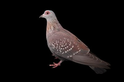 A speckled pigeon (Columba guinea) at the Columbus Zoo.