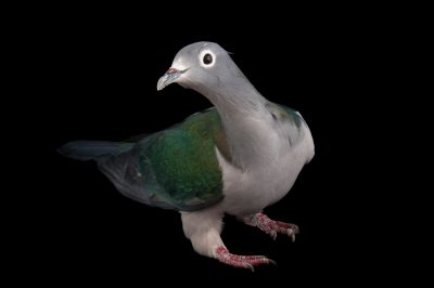 A white-eyed imperial pigeon (Ducula perspicillata perspicillata) at the Houston Zoo.