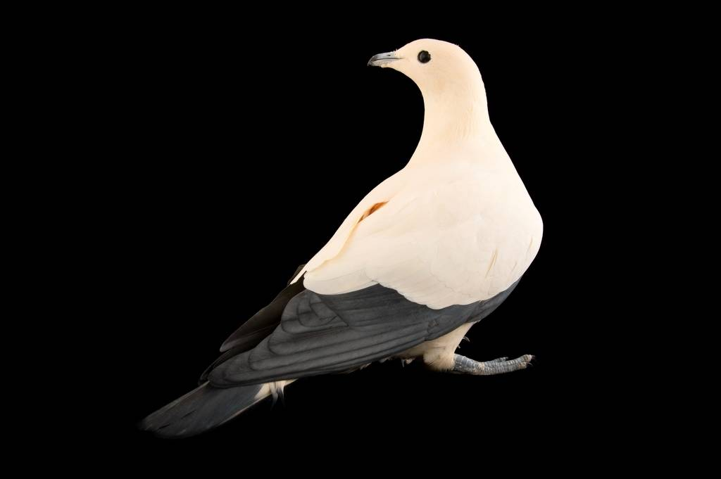 A pied imperial pigeon (Ducula bicolor) at Zoo Atlanta.