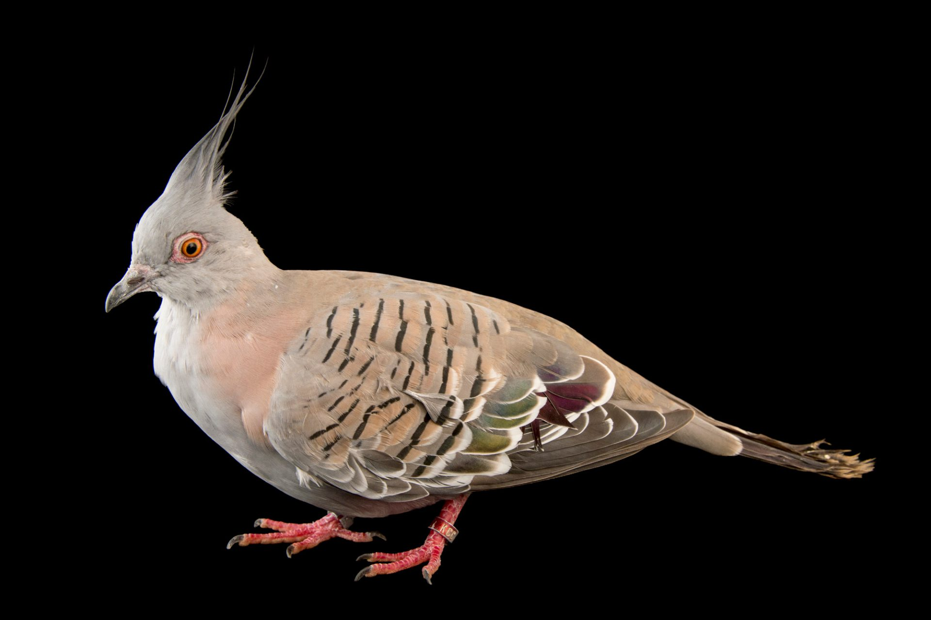 Photo: A crested pigeon (Ocyphaps lophotes) at the Blank Park Zoo in Des Moines, Iowa.