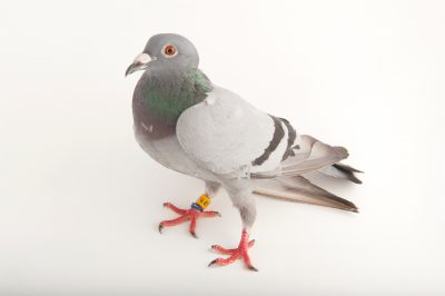 Photo: A pigeon, Columbidae sp., at the home of bird rescuer in Lincoln, Nebraska.
