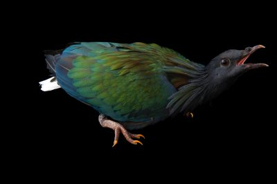 A near threatened Nicobar pigeon (Caloenas nicobarica) at Omaha's Henry Doorly Zoo and Aquarium, Omaha, Nebraska.