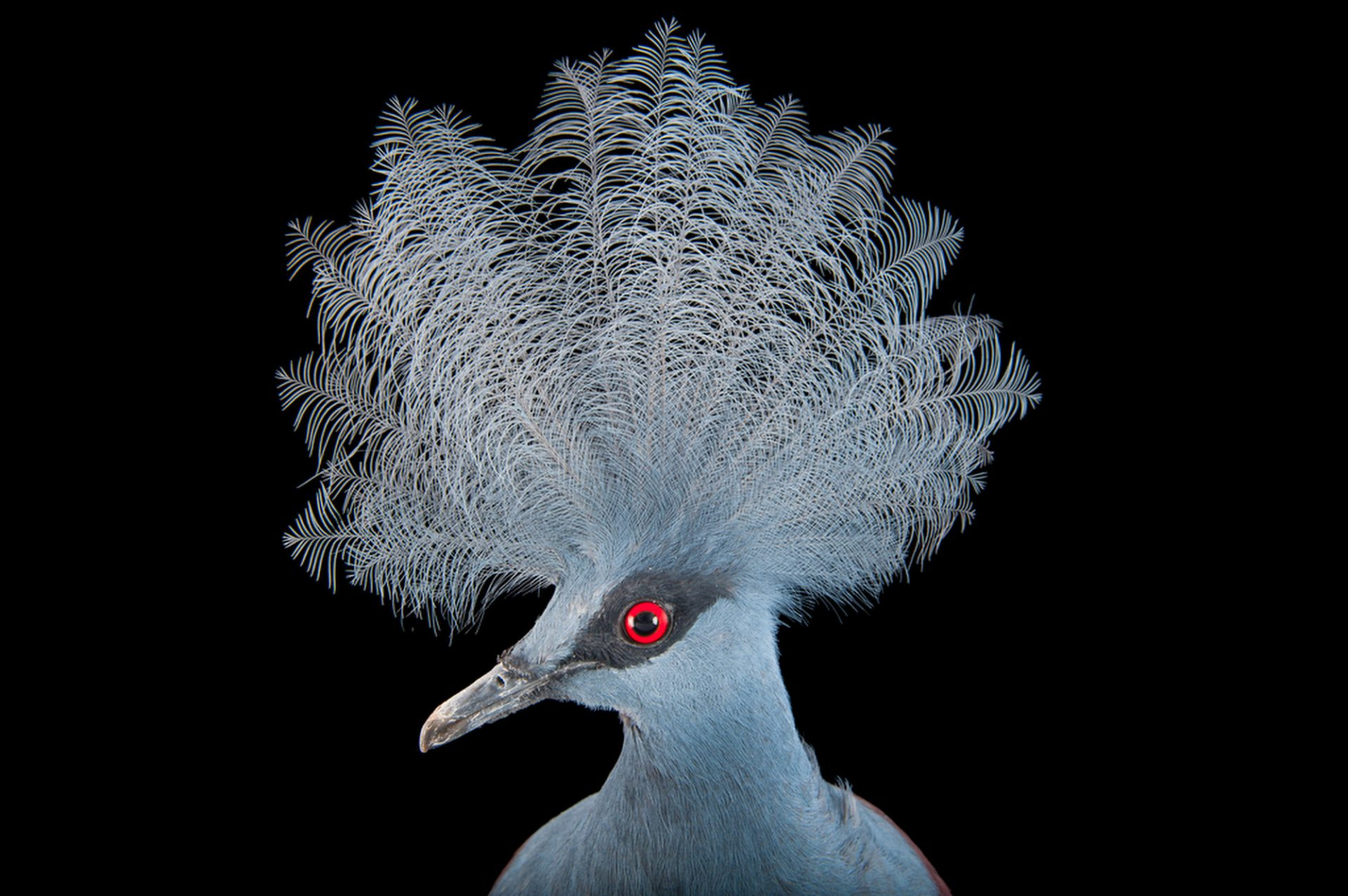 A vulnerable blue crowned pigeon (Goura cristata) at Omaha's Henry Doorly Zoo and Aquarium, Omaha, Nebraska.