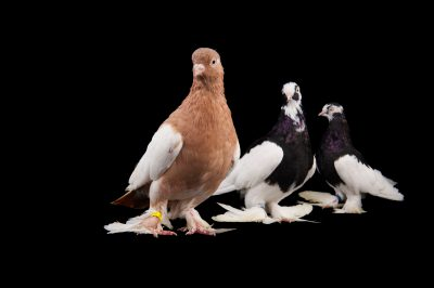 Three tumbler pigeons (Columba livia) at the Gladys Porter Zoo in Brownsville, Texas.