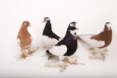 Four tumbler pigeons (Columba livia) at the Gladys Porter Zoo in Brownsville, Texas.