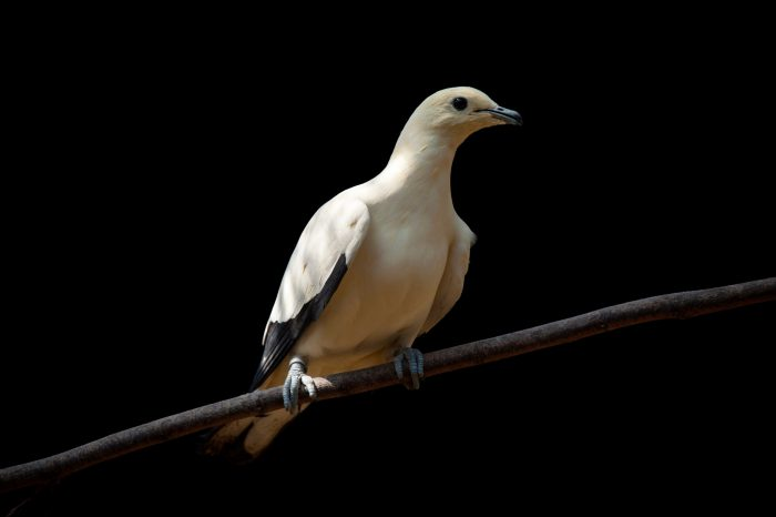 A pied Imperial pigeon (Ducula bicolor) at Ocean Park in Hong Kong.