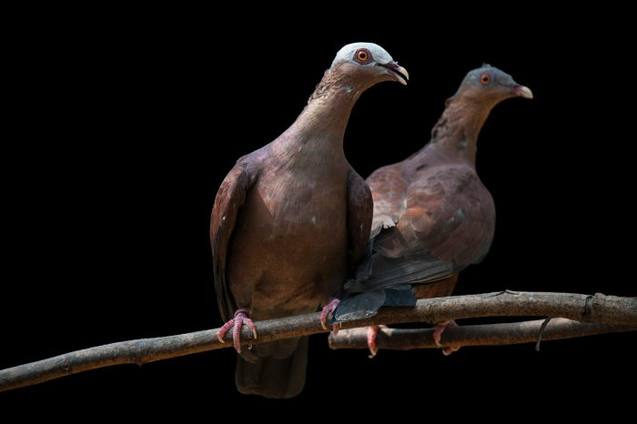 Photo: Two vulnerable pale-capped pigeons (Columba punicea) at Ocean Park in Hong Kong.