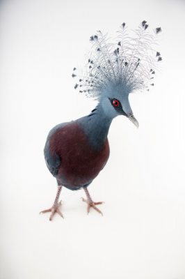 Picture of a vulnerable Victoria crowned pigeon (Goura victoria) at Sylvan Heights Bird Park.