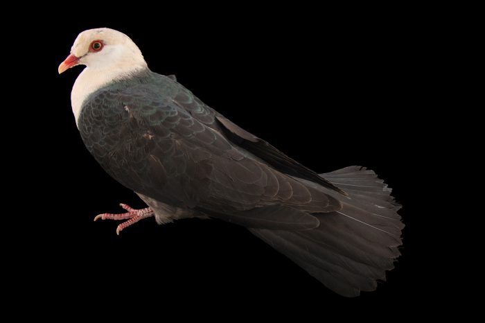 Picture of a white-headed pigeon (Columba leucomela) at the Healesville Sanctuary.