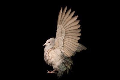 Photo: Imperial green pigeon (Duclua aenea) at Kamla Nehru Zoological Garden, Ahmedabad, India.