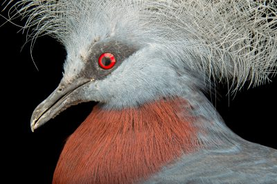 Picture of a vulnerable sheepmaker's crowned pigeon (Goura scheepmakeri) at Kamla Nehru Zoological Garden, Ahmedabad, India.