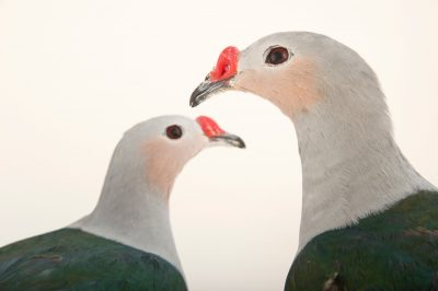 Picture of two red knobbed imperial pigeons (Ducula rubricera) at the Houston Zoo.