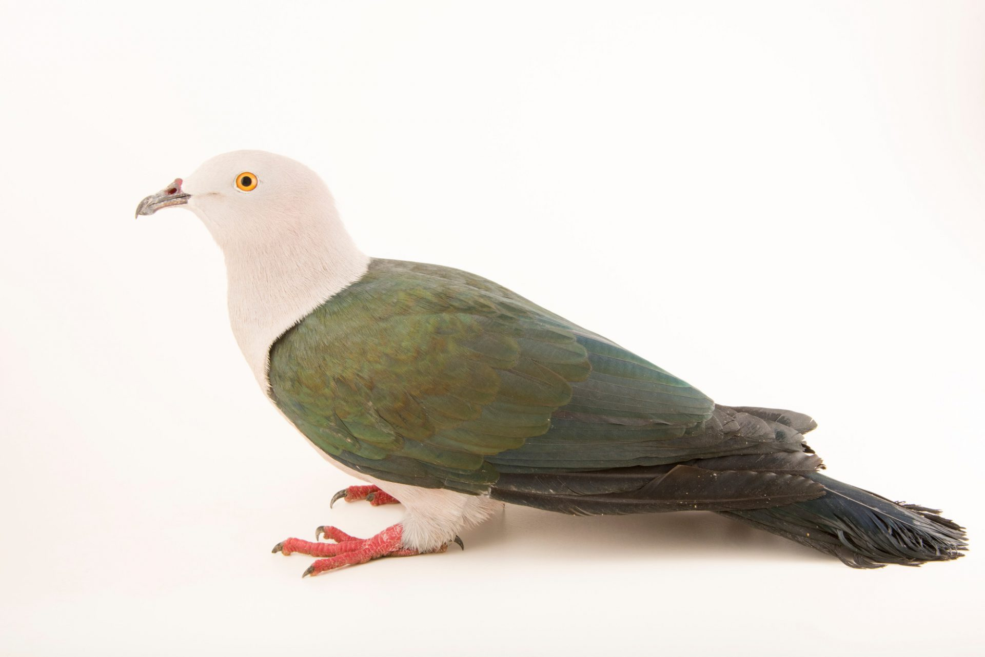 Photo: An elegant imperial pigeon (Ducula concinna) at the Jurong Bird Park.