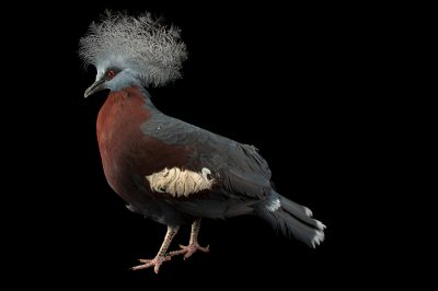 Picture of a vulnerable southern crowned pigeon (Goura scheepmakeri) at Kamla Nehru Zoological Garden, Ahmedabad, India