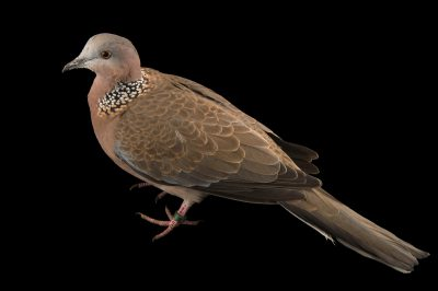 Photo: A spotted dove (Streptopelia chinensis tigrina) at the Plzen Zoo.