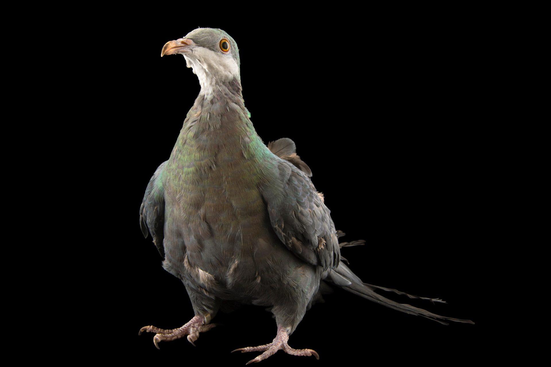 Photo: A metallic pigeon (Columba vitiensis griseogularis) at the Plzen Zoo in the Czech Republic.