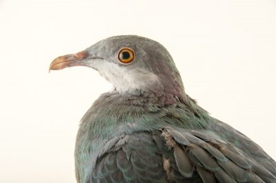 Photo: A metallic pigeon (Columba vitiensis griseogularis) at the Plzen Zoo in the Czech Republic.
